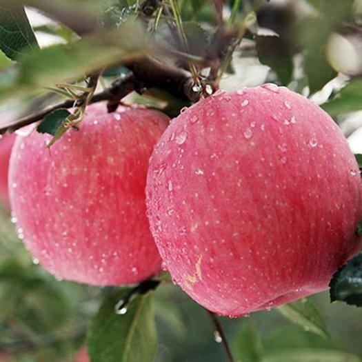 四川省涼山彝族自治州喜德縣 紅富士蘋果 紅將軍蘋果 金帥蘋果 青蘋果
