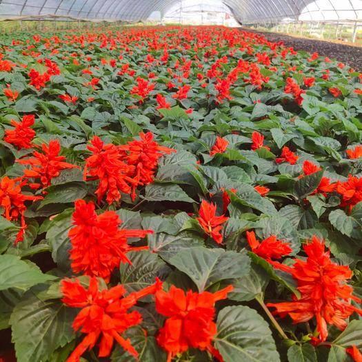 山东省潍坊市青州市 大量供应一串红,基地直发,一手货源