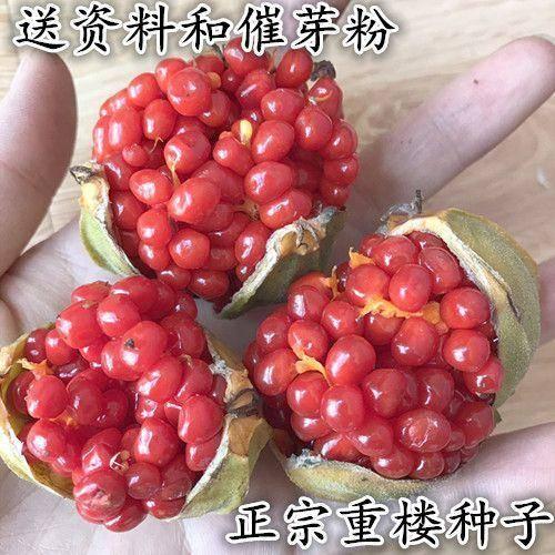 云南省昆明市五华区 滇重楼种子。一斤起批包邮。农家自家批发价格没有中间商