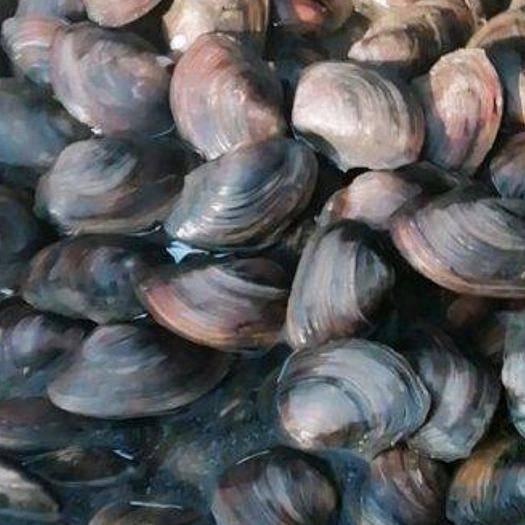 湖北省荆门市京山市 每天都有大量新鲜野生河蚌出售,欢迎下单。