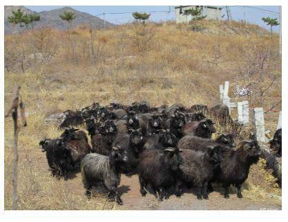 山东省烟台市牟平区山羊 80-110斤