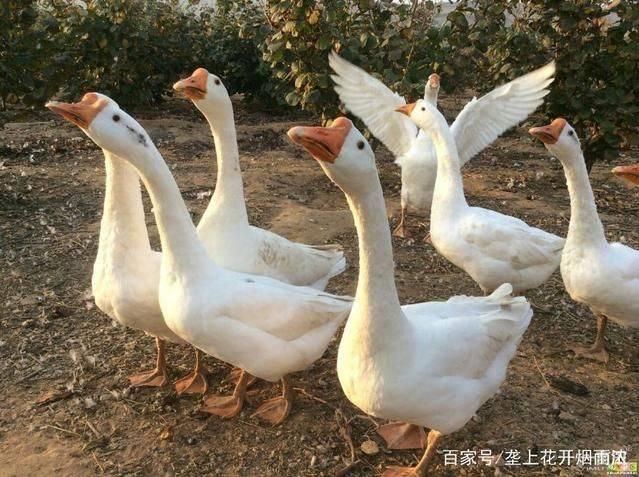 [肉鹅批发] 贵州大白鹅价格13元/斤