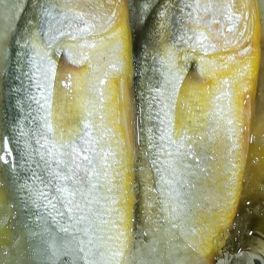湖北省武汉市江汉区 本店大黄花鱼常年有现货,来自福建宁德,保证新鲜