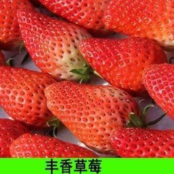 丰香草莓苗 草莓苗现挖发货 当年结果