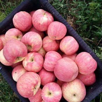 早熟蜜脆蘋果,美國新品種脆,甜耐儲存三個月不變