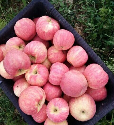 甘肅省慶陽市正寧縣 早熟蜜脆蘋果,美國新品種脆,甜耐儲存三個月不變