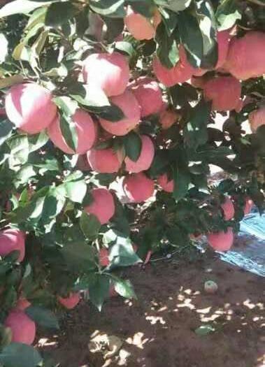 遼寧省大連市瓦房店市首紅蘋果 鮮紅的顏色