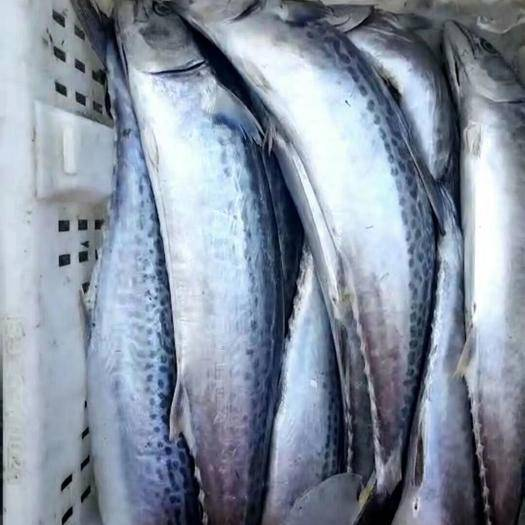 山东省威海市荣成市蓝点马鲛 自家渔船能长期合作的来!