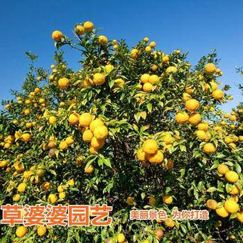 香橼种子新种子包邮
