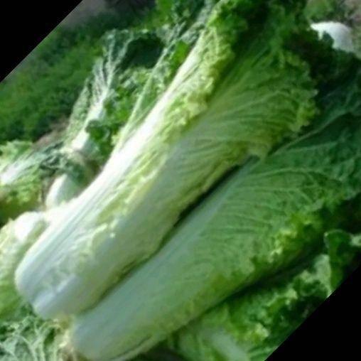 内蒙古自治区乌兰察布市化德县 优质青麻叶白菜
