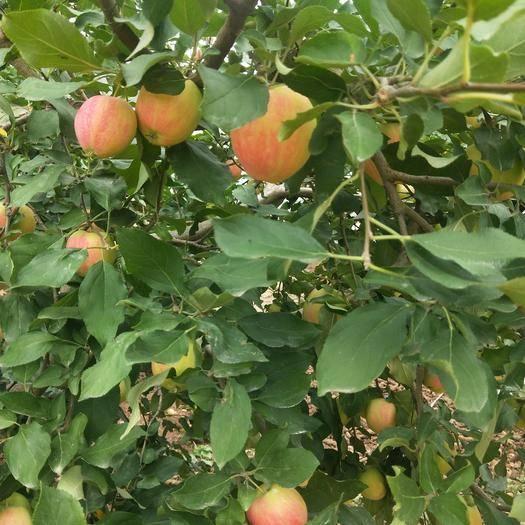 遼寧省錦州市義縣紅香蕉蘋果 香脆甘甜的香蕉果,尋找大客戶來我們這里采購