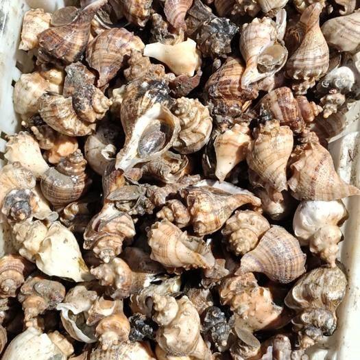山东省威海市乳山市大尖螺 深水螺 又叫尖螺