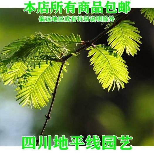四川省南充市嘉陵区 水杉种子包邮