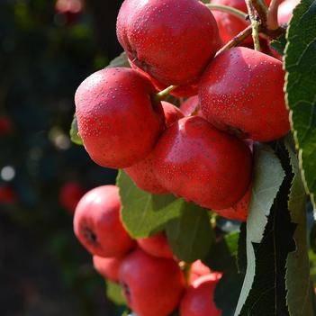 新鲜山楂果 鲜山楂 水果山楂果大金星 山楂鲜果 冰糖葫芦
