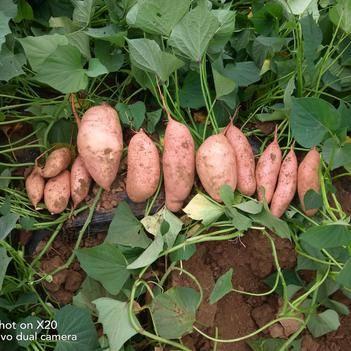 龍薯九號 大量龍薯九出貨有需要的聯系