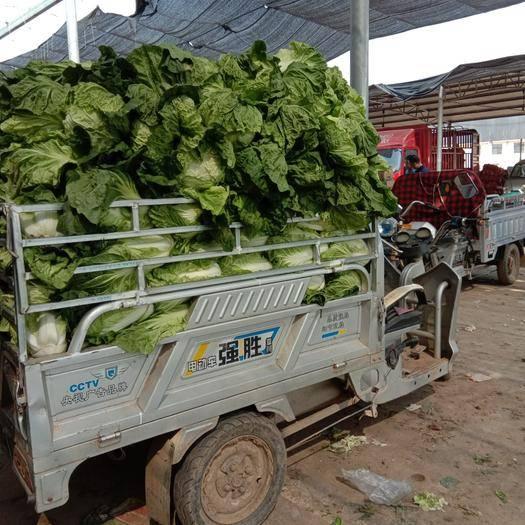 河北省石家庄市藁城区 大白菜大量上市,质量保证,货源充足,每颗3斤左右,无公害蔬菜