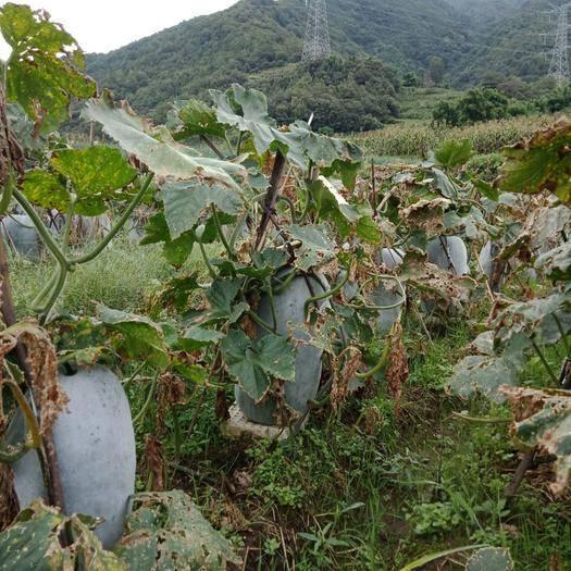 四川省凉山彝族自治州冕宁县吊冬瓜 瓜型生得好,长得美,产地直供,欢迎釆购,做到双赢,