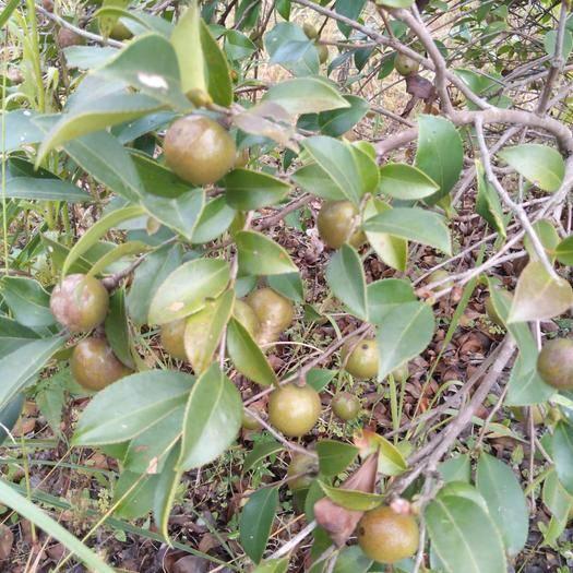 湖南省永州市零陵区油茶籽