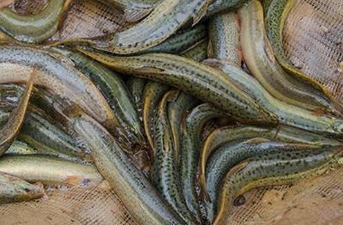 四川省达州市开江县 出售10到15公分台湾泥鳅。有需要的老板请联系我。