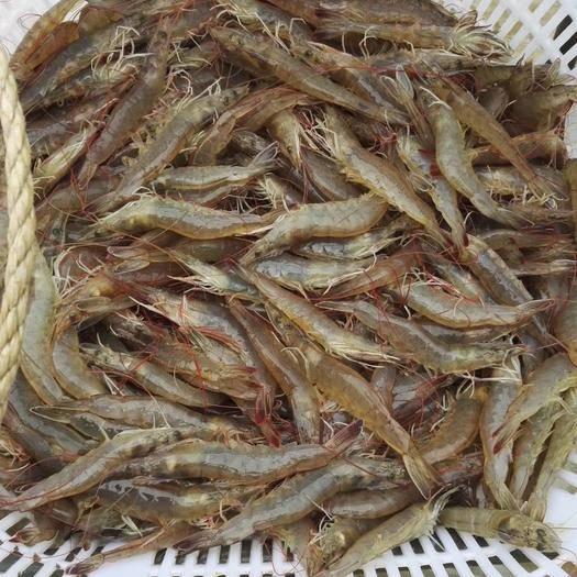 广东省佛山市南海区 罗氏虾,南美对虾活鲜