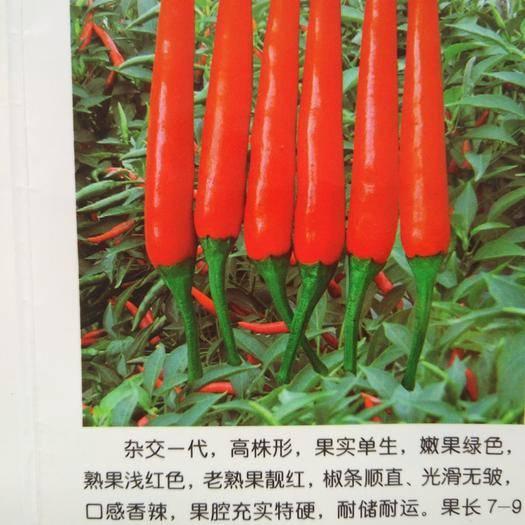 河南省郑州市惠济区朝天椒种子 杂交单生高产朝天椒
