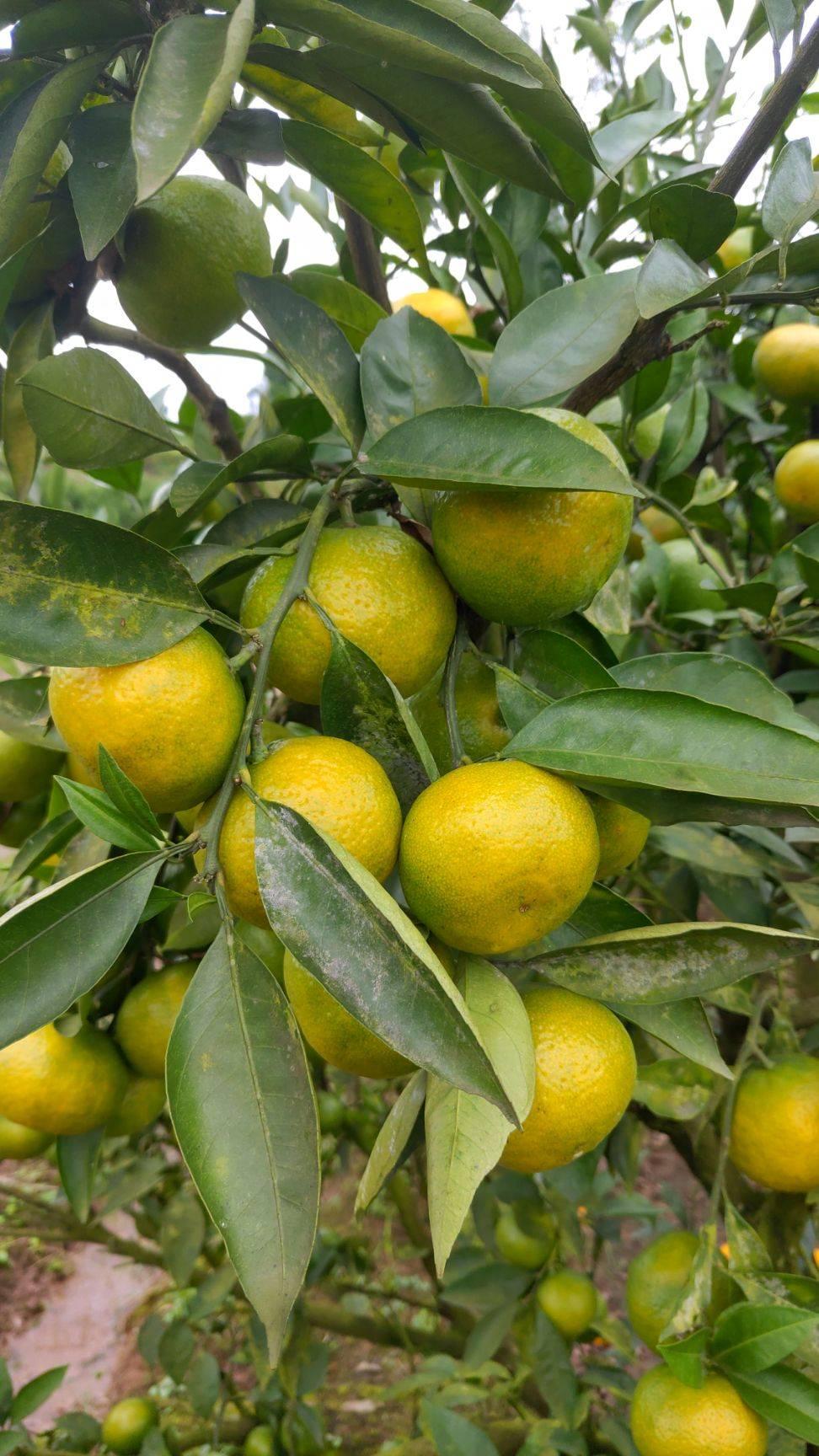 青皮蜜桔 现货 四川青皮蜜橘新鲜橘子水果酸甜桔子一件代发包邮