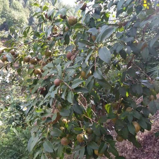 湖南省长沙市岳麓区野山茶籽