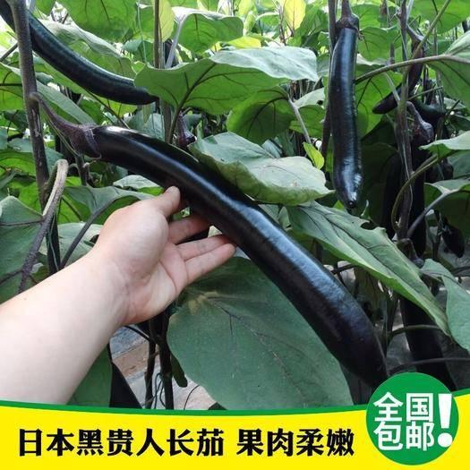 河北省唐山市迁安市 紫黑茄子种子紫红茄子种子800粒原厂彩色包装包邮