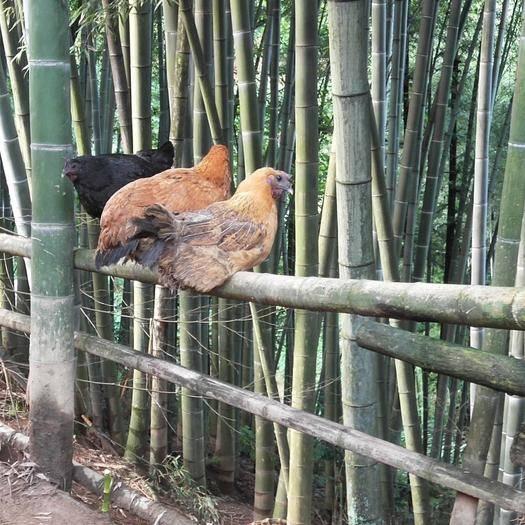 四川省泸州市叙永县 二代土杂鸡