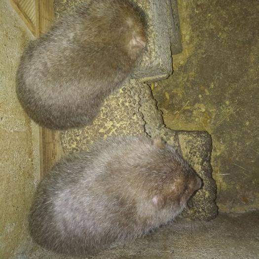 贵州省六盘水市六枝特区 贵州省六枝特区现有大量竹鼠销售,200只种苗,250只商品鼠