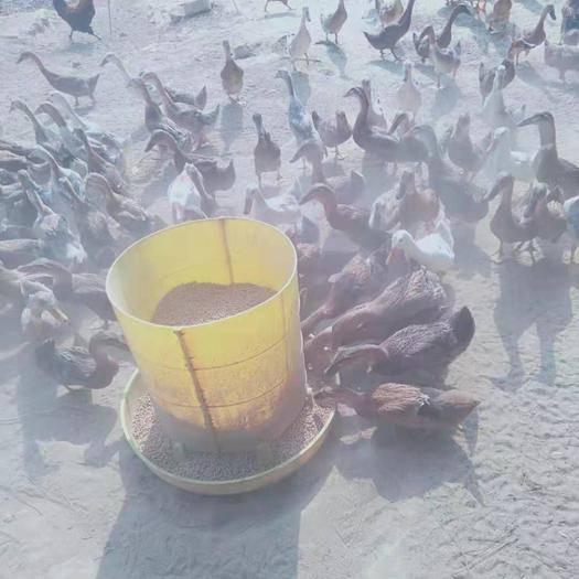 江西省吉安市吉安县 蛋鸭,金锭鸭