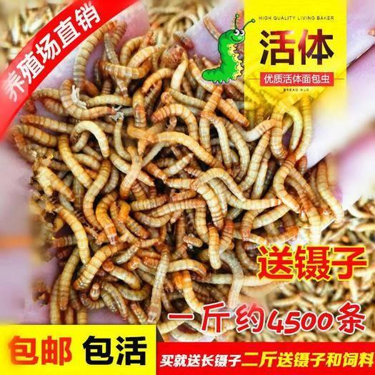 山东省德州市临邑县 黄粉虫面包虫