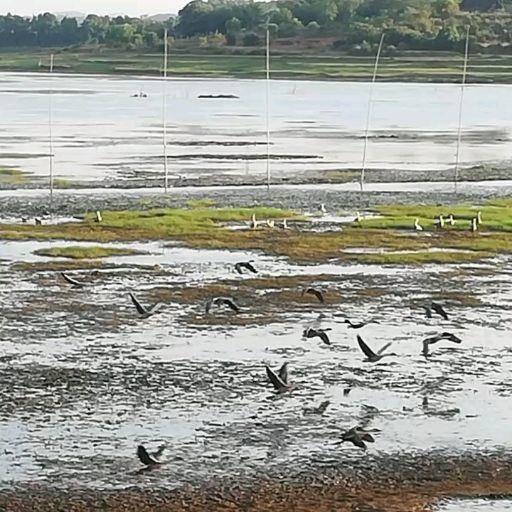 江西省上饶市余干县大雁肉 鄱阳湖原生态养大雁