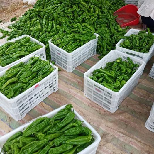 河南省商丘市夏邑县 本产地有15万亩301大棚辣椒线椒以大量上市,质量信誉第一