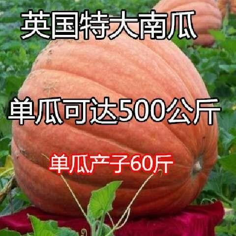 江苏省苏州市吴江区 美国太空南瓜种子