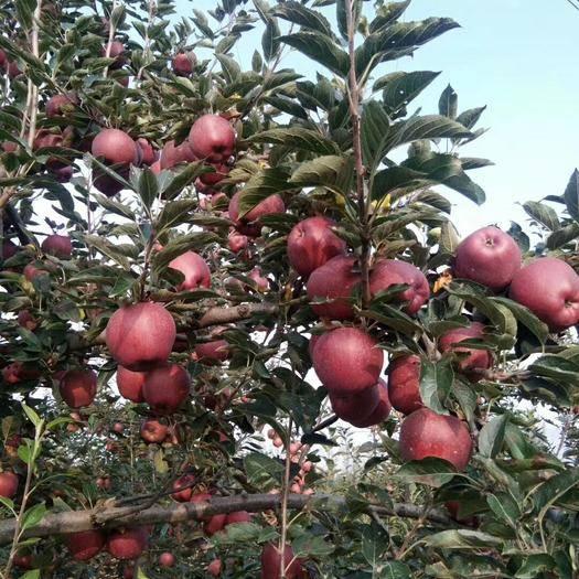 甘肃省陇南市礼县 甘肃花牛苹果已大量热卖中!