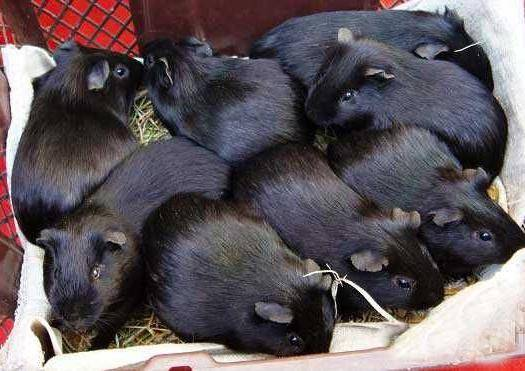 江西省抚州市东乡区 豚鼠种苗出售