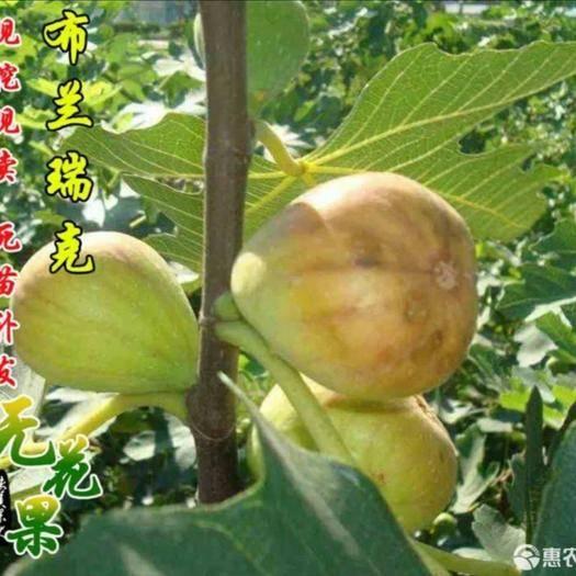 山东省临沂市平邑县 布兰瑞克无花果  包成活  包品种  包成活