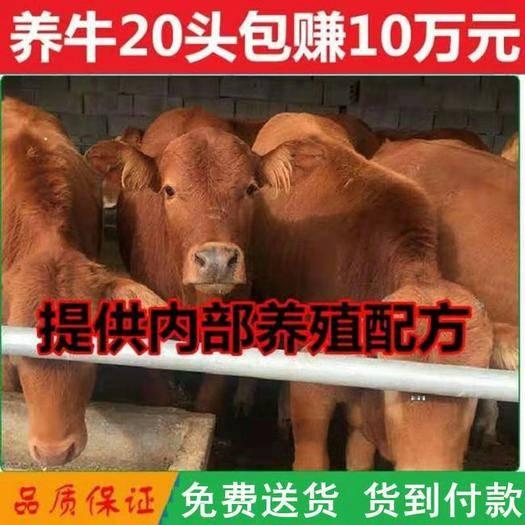 山东省菏泽市牡丹区 土黄牛 改良肉牛  养殖厂直销,价格实惠