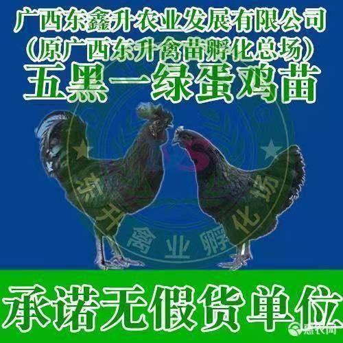 广西壮族自治区南宁市西乡塘区 绿壳蛋鸡苗~~~~~专业孵化20年