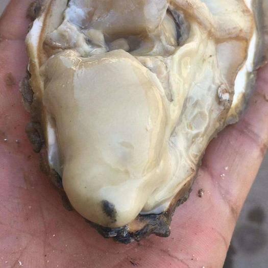 山东省威海市乳山市山东乳山牡蛎 乳山生蚝三倍体 产地直发 肥度饱满 肉质白皙细腻 规格齐全