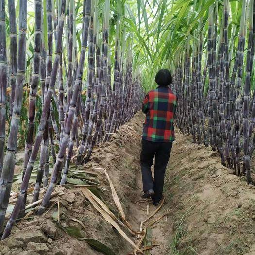 河南省商丘市睢阳区 甘蔗自家种植2块一颗