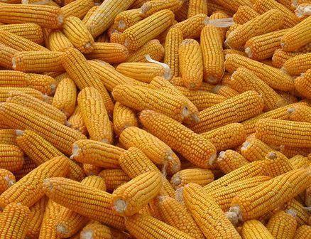 河南省商丘市睢阳区玉米干粮 杂交玉米出售,货源充足
