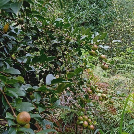 广西壮族自治区百色市田林县有机山茶油 原生态,不打药,不放肥