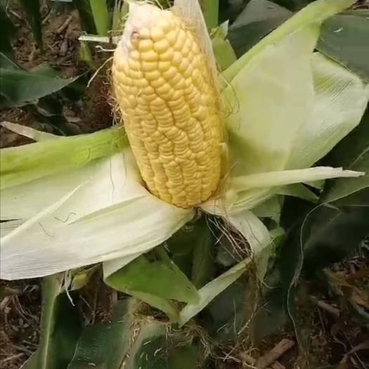 山东省济南市济阳区 农科院示范基地出产鲜水果玉米,非转基因