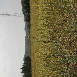 江西省上饶市鄱阳县 鄱阳湖优质土地种植的黑芝麻,不含重金属