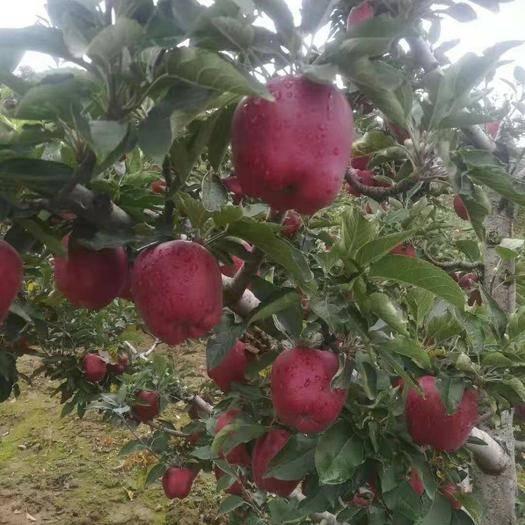 甘肃省天水市秦安县 农人苹果直供花牛苹果(蛇果)低价出口感好 品相好