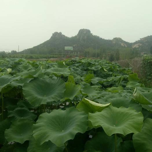 山东省济南市莱芜区 现有50亩雪藕准备采挖出售望广大批发商洽谈采购。