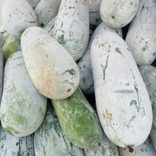 广西壮族自治区百色市田阳县吊冬瓜 个头合适,外表光亮,味道鲜美。