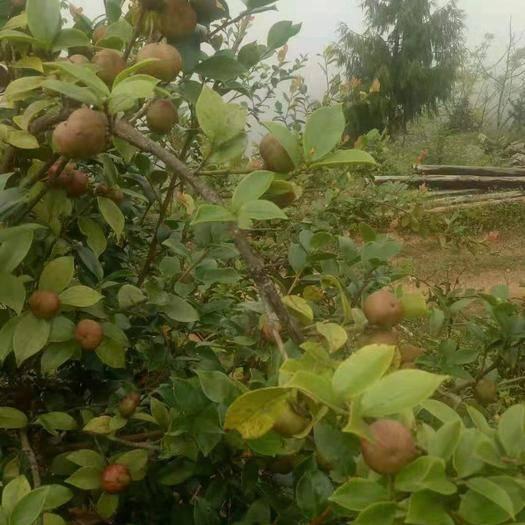 云南省昆明市西山区 油茶籽,鲜果,产地云南
